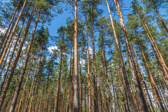 Pine trees holding up the sky Royalty Free Stock Photo