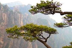 Pine trees and Huangshan mountains, China Royalty Free Stock Photo