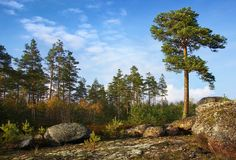 Pine trees individual and collective Stock Photos