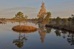 Pine trees on island   Royalty Free Stock Photo