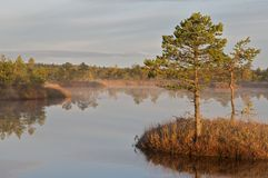 Pine trees  on island Stock Images