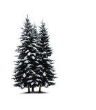 Pine trees isolated Stock Photos