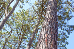 Pine trees and its trunks in the sky. In summer Royalty Free Stock Photo