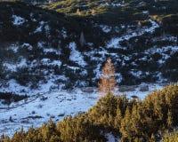 Pine trees on Komna. Mountan plateau Royalty Free Stock Photography