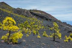 Pine trees in La Palma. Volcanos Royalty Free Stock Image
