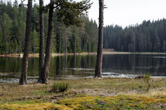 Pine trees at the lake Stock Images
