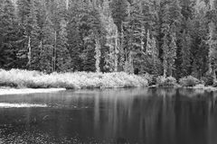 Pine trees by lake Royalty Free Stock Photo