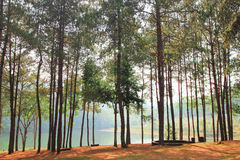Pine trees beside a lake. Royalty Free Stock Photo