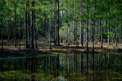 Pine trees and lake with reflections. Lake with reflections of pine trees and pine needles on the ground Stock Photo