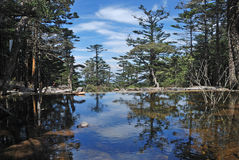 Pine trees and lake Stock Images
