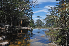 Pine trees and lake Royalty Free Stock Images
