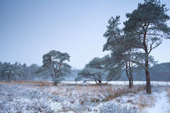 Pine trees and lake in winter snow Stock Images