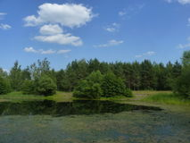 Pine-trees on the lakeshore. Summer landscape with the pine-trees on the lakeshore stock images