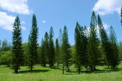 Pine trees landscape Stock Photo