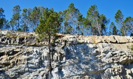 Pine Trees Stock Image