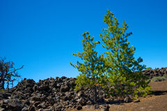 Pine Trees in Lava Field Stock Photo