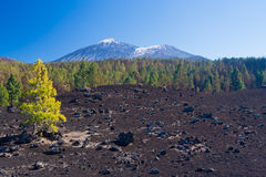 Pine trees on the lava field, Pico del Teide, Tenerife, Spain Royalty Free Stock Image