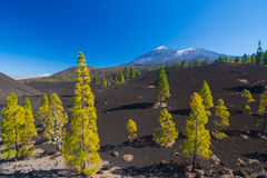 Pine trees on the lava field, Pico del Teide, Tenerife, Spain Stock Photos