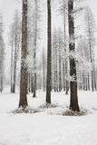 Pine trees layered in frost. Royalty Free Stock Photography