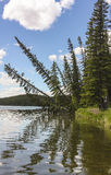 Pine Trees Leaning Over A Lake With Reflections Royalty Free Stock Image