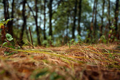 Pine trees and leaves on ground view royalty free stock photos