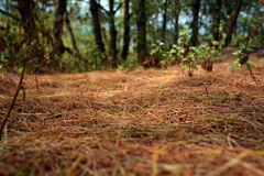 Pine trees and leaves on ground view Royalty Free Stock Images