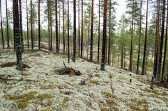 Pine trees on lichen covered sand dunes. Lichen is mostly Cladon Royalty Free Stock Photo