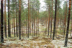 Pine trees on lichen covered sand dunes. Lichen is mostly Cladon Royalty Free Stock Image