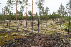 Pine trees on lichen covered sand dunes. Lichen is mostly Cladon. Pine forest planted on ice age sand dunes to stop them from moving. Lichen covered moist ground Royalty Free Stock Photography
