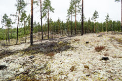 Pine trees on lichen covered sand dunes. Lichen is mostly Cladon. Pine forest planted on ice age sand dunes to stop them from moving. Lichen covered moist ground Royalty Free Stock Photos