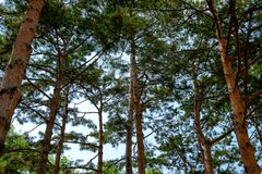 Pine trees that lined up the same time lots of pine forest. S royalty free stock images