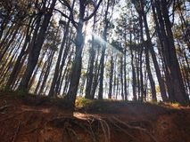 Pine trees lined up in a small forest. With the sunrays lighting them up. royalty free stock images