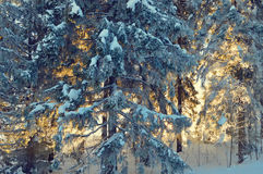 Pine trees lit by the morning sun at winter stock photography