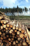 Pine trees log trunks. Forest pine trees log trunks felled by the logging timber industry Stock Image