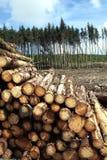 Pine trees log trunks Stock Image
