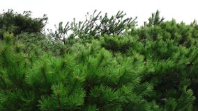 Pine trees at Lotte garden in Busan, South Korea stock video