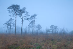 Pine trees on marsh in fog Stock Photo