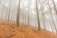Pine Trees in the mist Stock Images