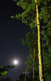 Pine trees and moon Stock Image