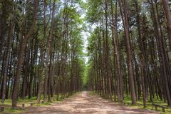 Pine trees in the morning. royalty free stock image