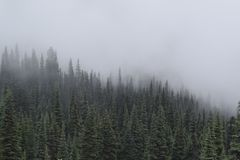 Pine trees on a mountain against a misty sky royalty free stock image