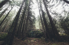 Pine trees in mountain forest. Giant pine trees in mountain forest royalty free stock photos