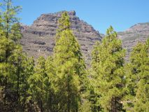 Pine trees and mountain near San Bartolome, Gran Canaria Royalty Free Stock Images