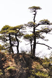 Pine trees at mountain peak Stock Photography