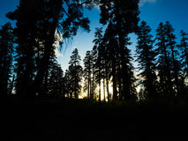 Pine trees on mountain of sequoia national forest. In California, USA Royalty Free Stock Image