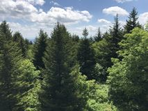Pine Trees. On the mountain in West Virginia Royalty Free Stock Photos