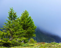 Pine trees in mountains Stock Photos