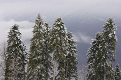 Pine trees in mountains Stock Image