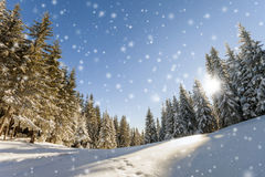Pine trees in mountains and falling snow in fairy tale winter su Stock Images