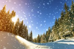 Pine trees in mountains and falling snow in fairy tale winter su. Nny morning. Soft ligth effect stock image